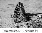 Black And White Monarch...