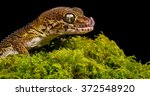 A Madagascan Ground Gecko...