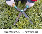 cutting boxwood hedge with...   Shutterstock . vector #372592153