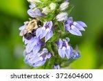 bombus impatiens  common... | Shutterstock . vector #372604600
