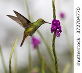 Small photo of Rufous-tailed Hummingbird, Amazilia tzacat, feeding on violet flower, Turrialba, Cordillera de Talamanca, Costa Rica