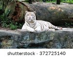 White Tiger Resting On A Rock ...