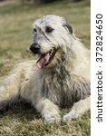 Small photo of Irish wolfhound