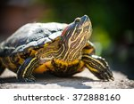 Red Eared Slider Turtle ...