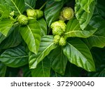 Noni Tree  Morinda Citrifolia