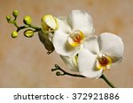 White Orchid Brown Background Phalaenopsis - Fine Art prints