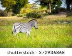 zebra walks on the grass in the ... | Shutterstock . vector #372936868
