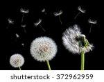 Dandelion Flower And Flying...