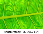 Small photo of Detail of a leave of Giant Taro or Elephant Ear Taro (Alocasia macrorrhiza)