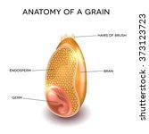 grain cross section anatomy.... | Shutterstock .eps vector #373123723