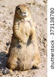 Small photo of Agitated gopher standing on sand