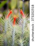 Tillandsia Funckiana Flower