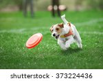 Stock photo small dog playing with plastic disk 373224436