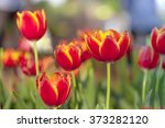 blight tulips. blooming tulips. ... | Shutterstock . vector #373282120