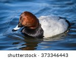 duck on the river .male of... | Shutterstock . vector #373346443