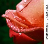 Beautiful Rose Flower Petals...