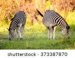 Zebra Eating Grass In The...