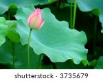 The Lotus Flower And Giant...