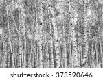 birch  black and white photo ... | Shutterstock . vector #373590646