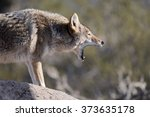Small photo of Close Up image of Coyote