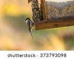 Carolina Chickadee  Poecile...