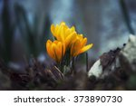 Yellow Crocuses In The Forest