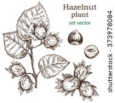 hazelnut plant set. hand drawn... | Shutterstock .eps vector #373978084