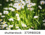 White Daisies Field Background