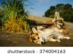 welsh pembroke corgi wet and... | Shutterstock . vector #374004163