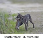 wild bobcat holds a rabbit in... | Shutterstock . vector #374026300