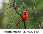 Beautiful Cardinal Bird On The...