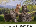 Stock photo maine coon kittens playing on a tree stump in the forest 374099944