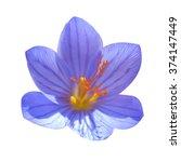blue flower crocus ligusticus ... | Shutterstock . vector #374147449