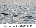 seals resting on ice floes | Shutterstock . vector #374221150