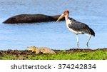 Marabou Stork At The Moremi...