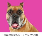boxer dog on pink background | Shutterstock . vector #374279098