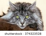 Small photo of Beautiful young cat main coon