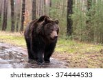 Big Male Of Brown Bear  Ursus...