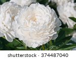 Beautiful White Peonies In The...