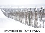 Field of raspberry canes covered with snow near Everson, Washington