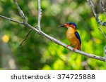 Small photo of Alcedo Vintsioides: A Madagascar King Fisher perched on a branch