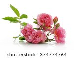 branch of pink climbing rose | Shutterstock . vector #374774764