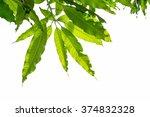 Mango Leaf On White Sky...