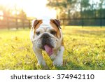 Purebred English Bulldog Dog...