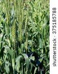 Small photo of Common wheat's raw green Wheat ear (Triticum aestivum)