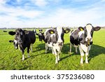 Cows In The Countryside From...