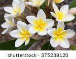 white and yellow plumeria...   Shutterstock . vector #375238120