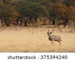 Greater Kudu Tragelaphus...