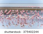 Flock Of Flamingos At Walvis...