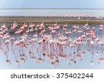 Flock Of Flamingos At Walvis...